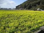 杷木の菜の花